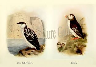 Little Auk & Puffin